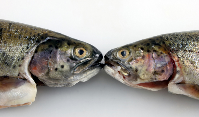 Two fresh rainbow trout facing each other off