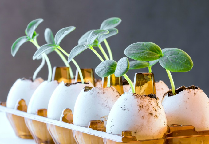Cucumber sprouts in an eggshell placed in an egg pack.