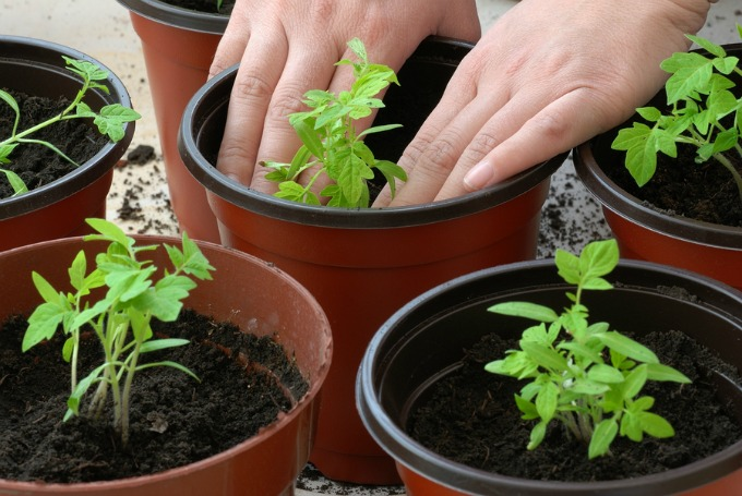 Planting tomato seedlings in pots