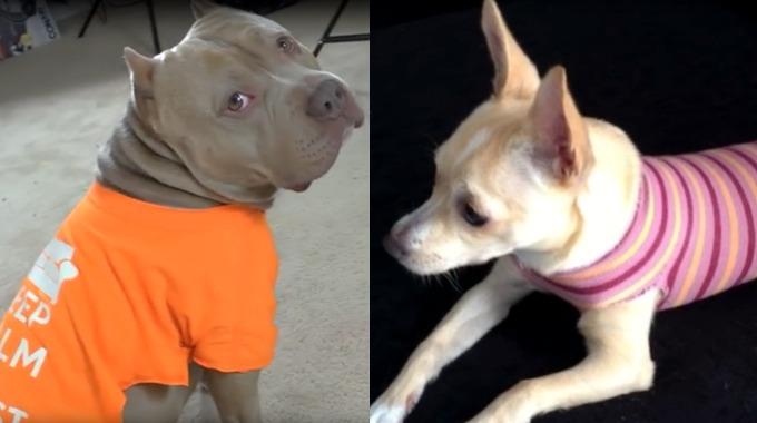 Slik lager du flotte hundegensere til hunden uten å sy eller